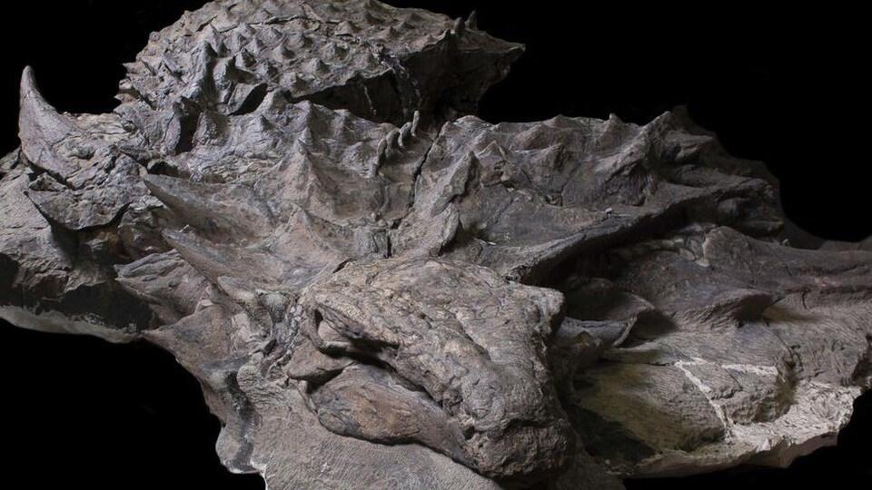 L'ensemble du spécimen de Borealopelta markmitchelli découvert en Alberta.