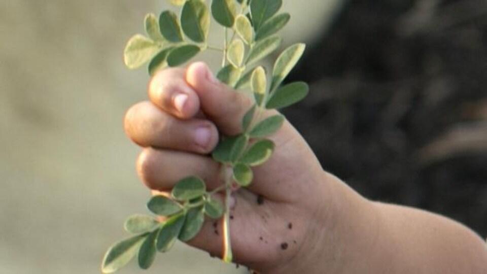 Une main tient une branche de moringa.
