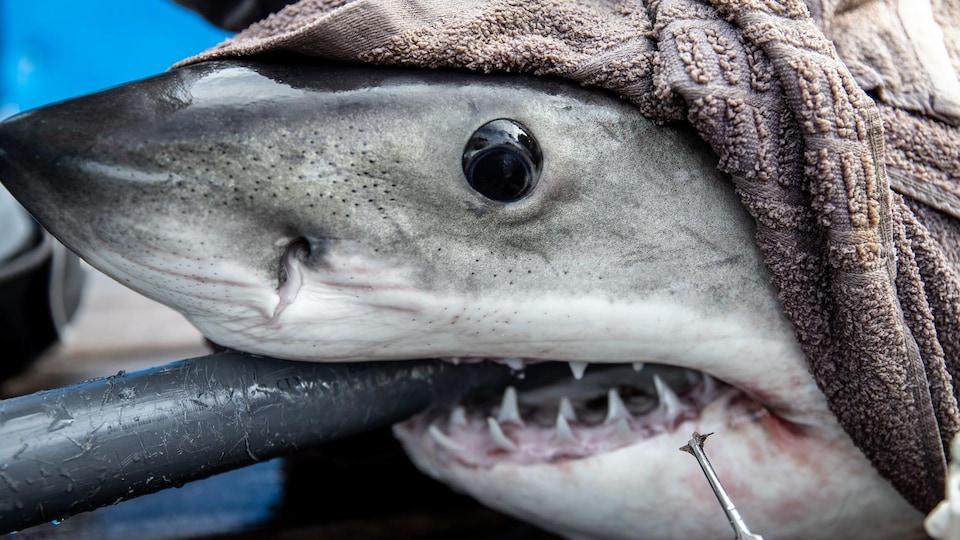 Un requin avec un bâton dans la bouche, hors de l'eau, avec une serviette entourant sa tête.
