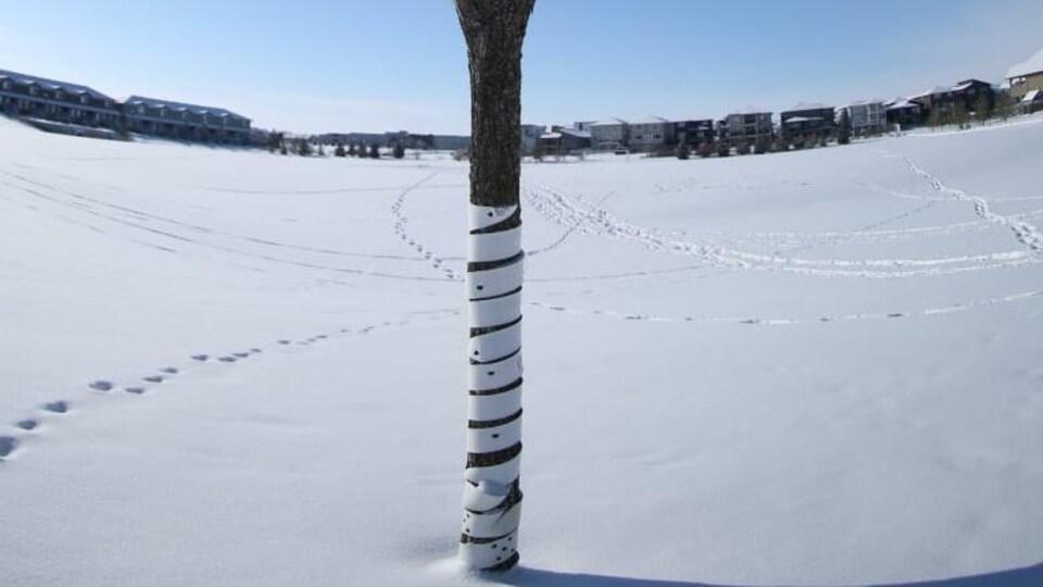Un arbre dans un parc enneigé est enveloppé au niveau du tronc par une espèce de plastique cartonné blanc.