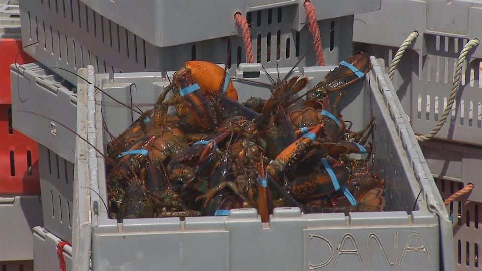 Des homards vivants