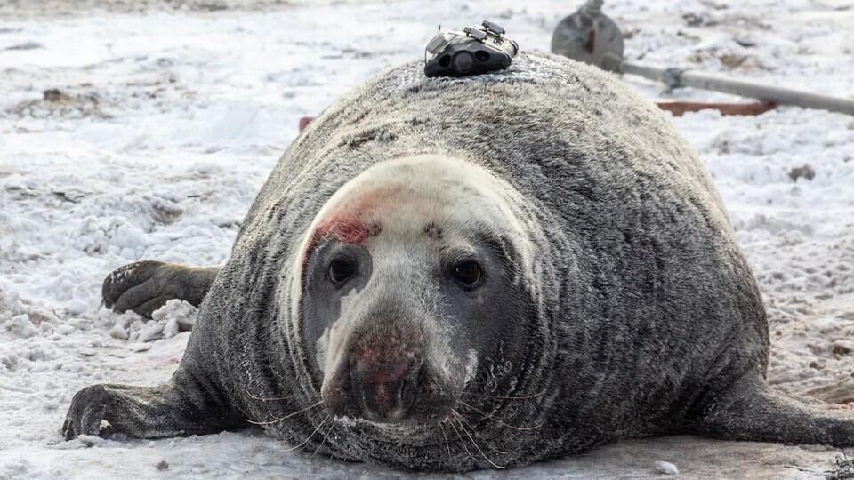 Une petite caméra vidéo fixée sur le dos d'un phoque.