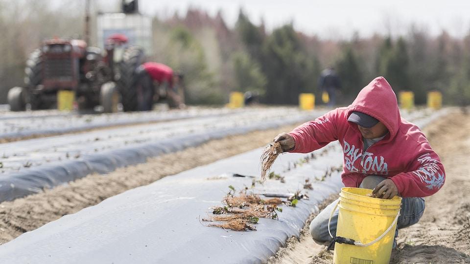 Un travailleur mexicain travaille sur une ferme québécoise.
