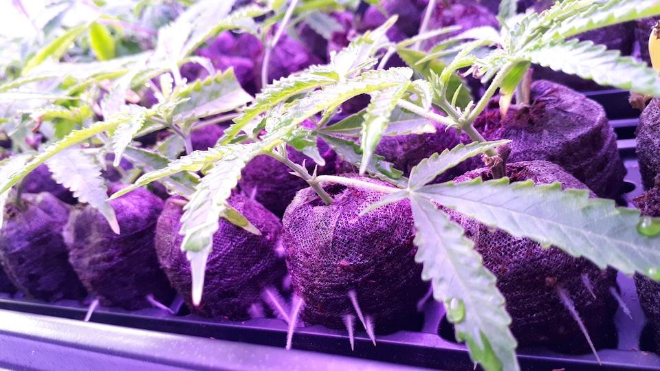 Des boutures de cannabis dans une serre intérieure.