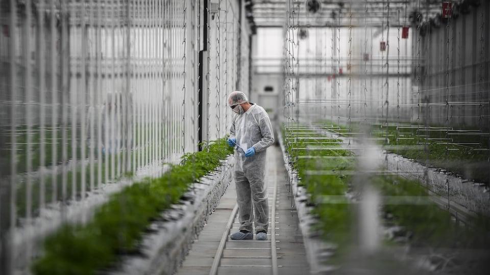 Un ouvrier vérifie des plants de cannabis dans une serre du site de production européen du producteur canadien de cannabis médicinal Tilray, à Cantanhede, au Portugal.