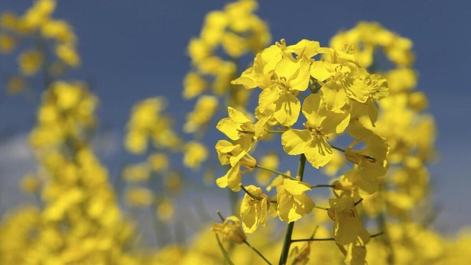 Des fleurs de canola sur fond de ciel bleu