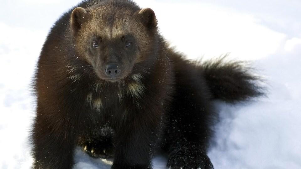 Un carcajou dans la neige. C'est une photo de près, l'animal regarde vers l'appareil.