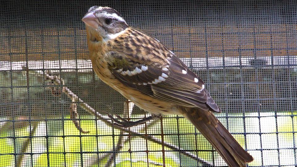 Un oiseau de couleur brun et blanc avec des rayures noires sur la tête dans une cage d'un refuge.