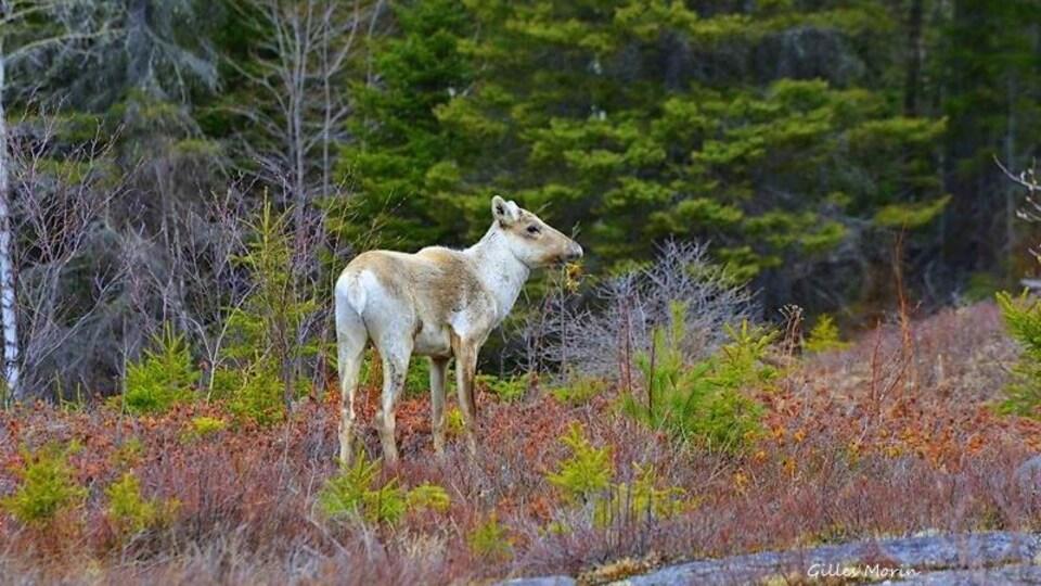 Un caribou forestier