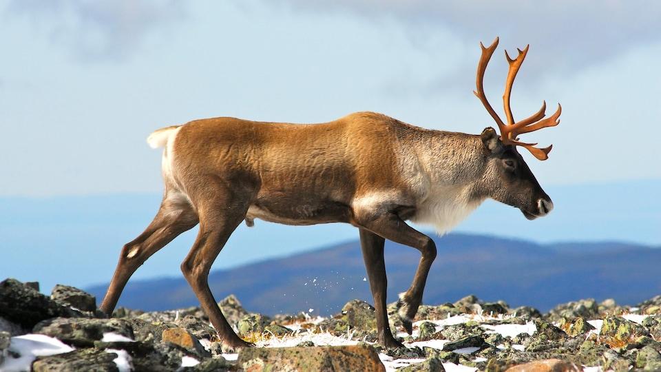 On voit un caribou mâle, de profil, avancer sur un sol rocheux, en hiver.
