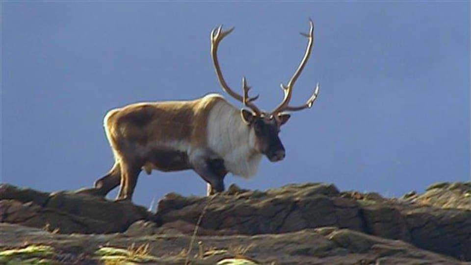 Un caribou dans le Parc de la Gaspésie.