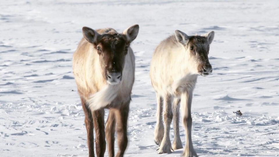 Deux caribous montagnards de la Gaspésie en hiver.