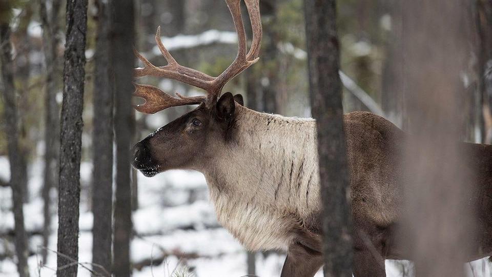 Un caribou marche dans la neige au milieu de la forêt.