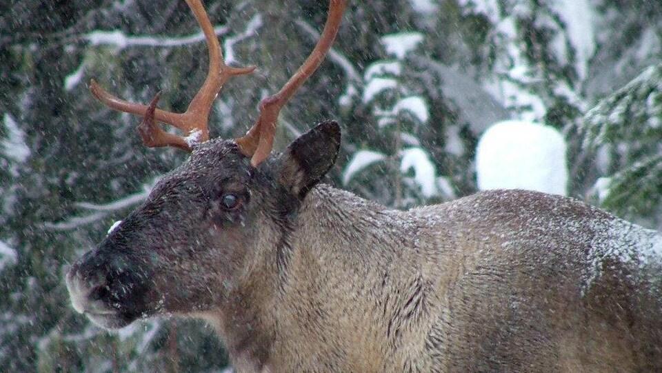 Un caribou des montagnes avec de la neige qui tombe