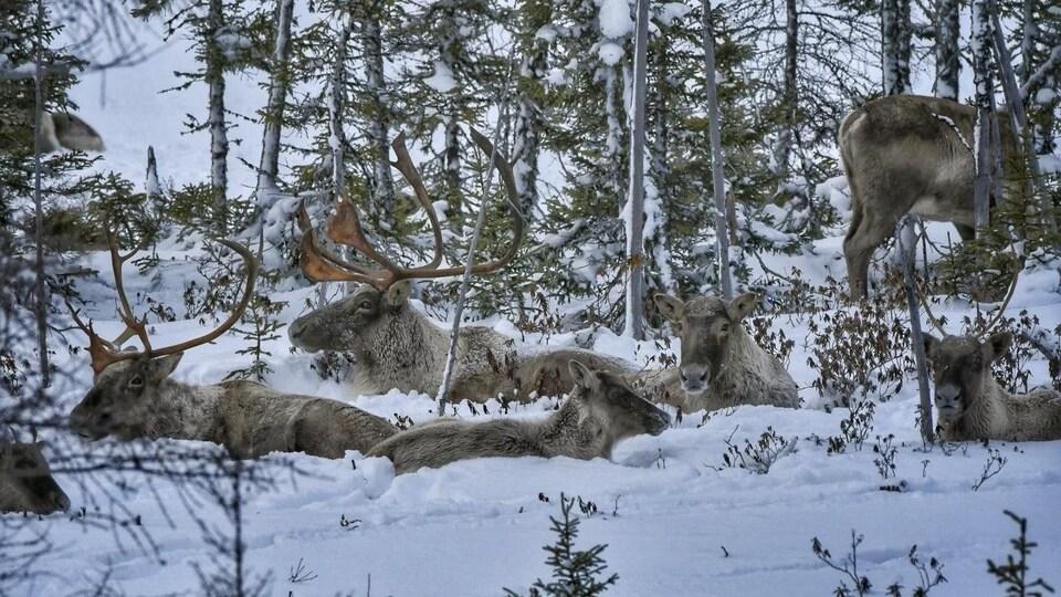 Près d'une dizaine de caribous migrateurs sont couchés dans la neige.