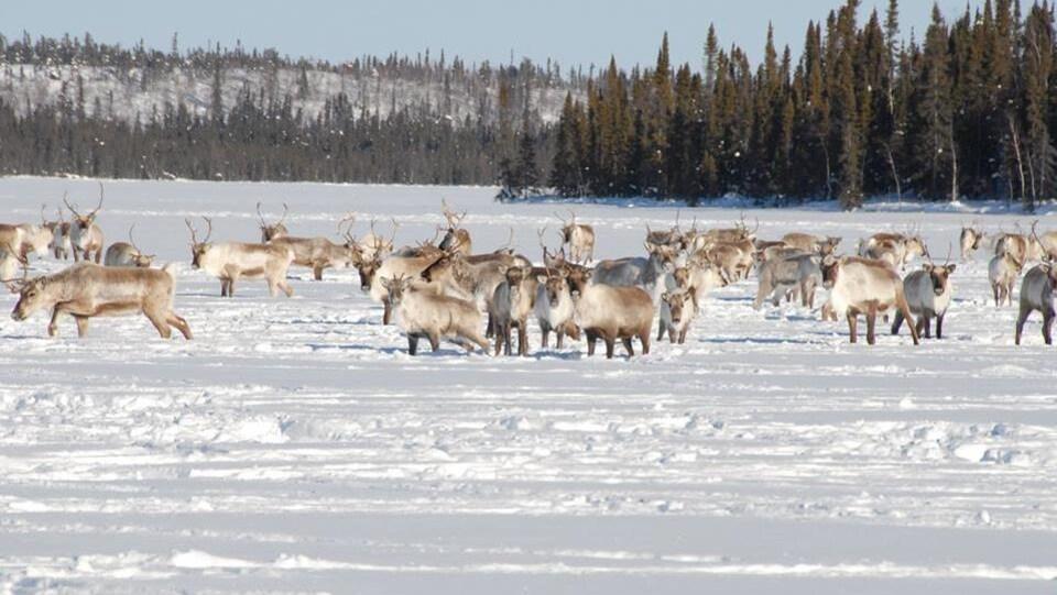 Des caribous dans la neige.