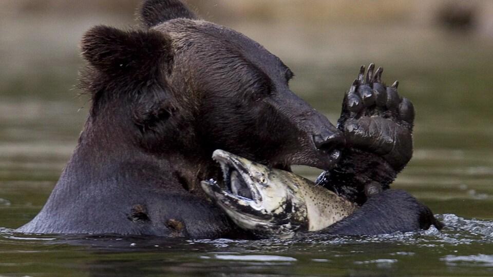 Un grizzly pêche un saumon dans la rivière Atnarko, dans le parc provincial de Tweedsmuir, près de Bella Coola, en Colombie-Britannique, le samedi 11 septembre 2010.