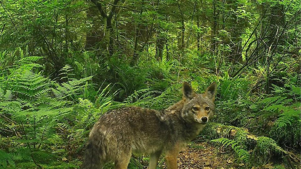 Un coyote dans les bois, le 11 juin 2021.