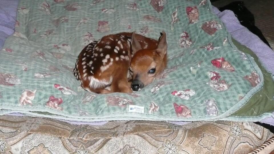 La faon en 2012 lorsqu'il a été trouvé à proximité du cadavre de sa mère.