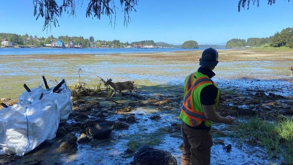 Un cerf mulet circule au bord de la zone intertidale à marée basse. Une personne qui ramasse des déchets le regarde.