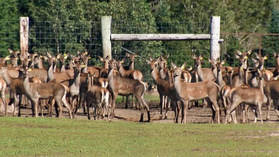 Plusieurs cerfs dans un enclos.