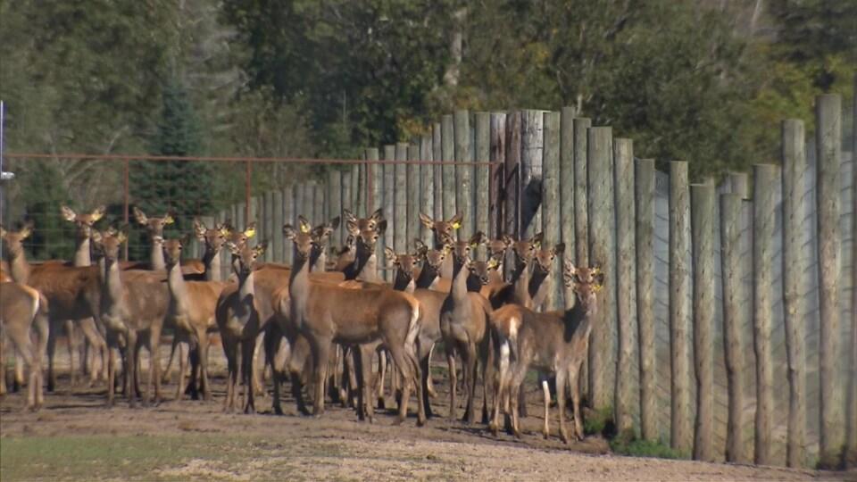 Des cerfs dans un enclos.