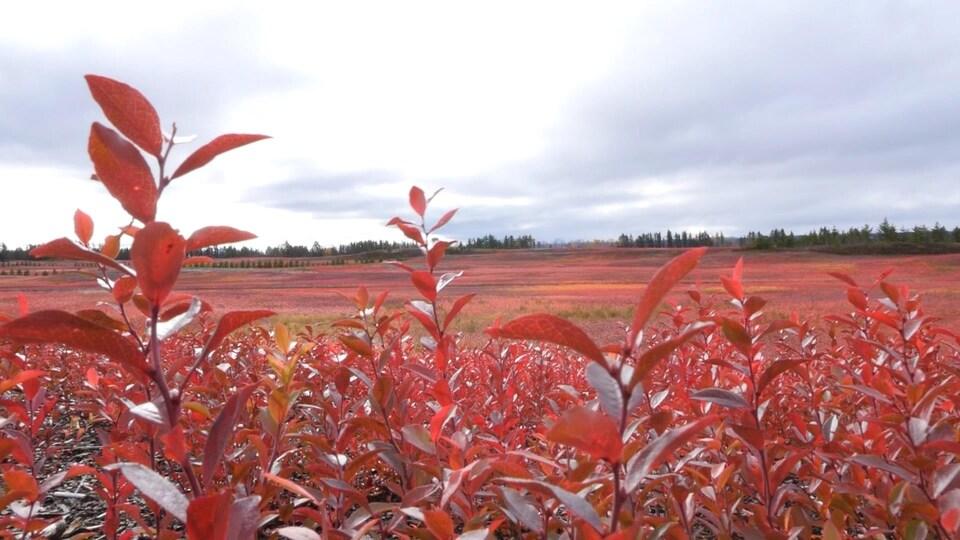 Un champ de bleuets l'automne