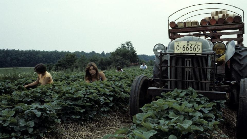 Des cueilleuses accroupies entre les rangées de plants tandis qu'on voit un tracteur immobilisé à côté d'elles.