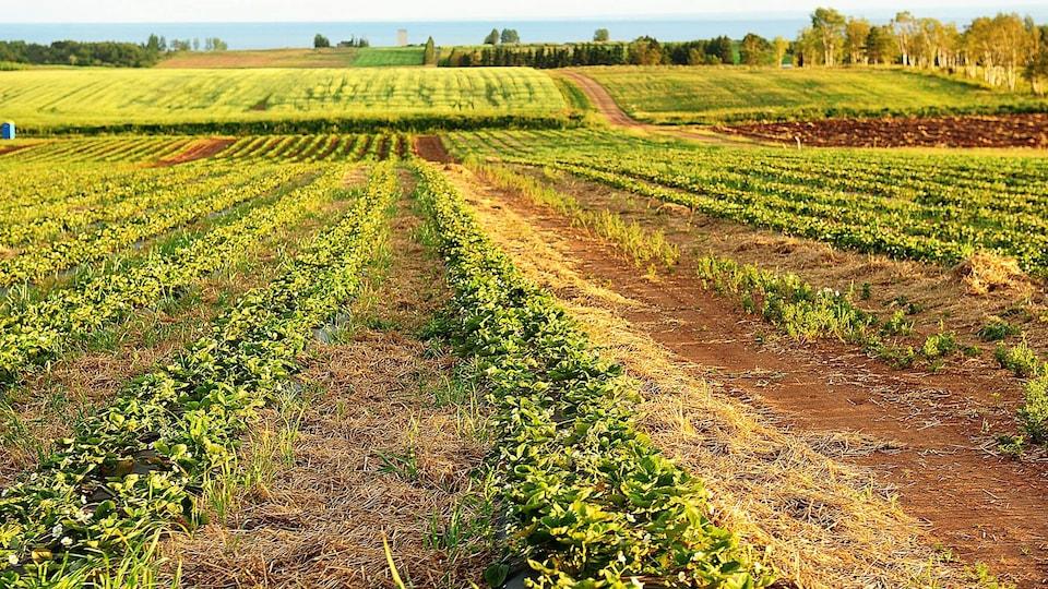 Les champs de fraises de la Ferme Bourdages