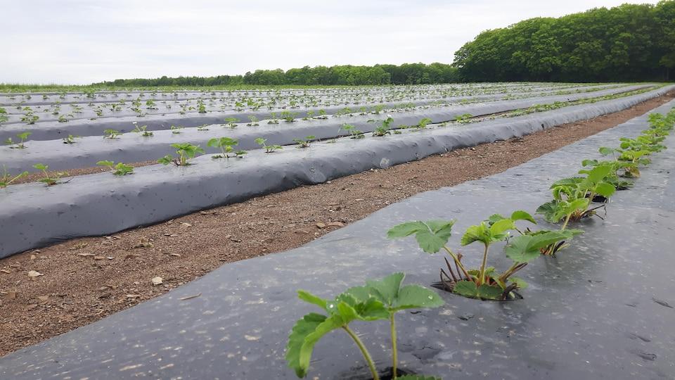 Un champ de fraises avec de jeunes plants à Saint-Jean-de-l'Île-d'Orléans.