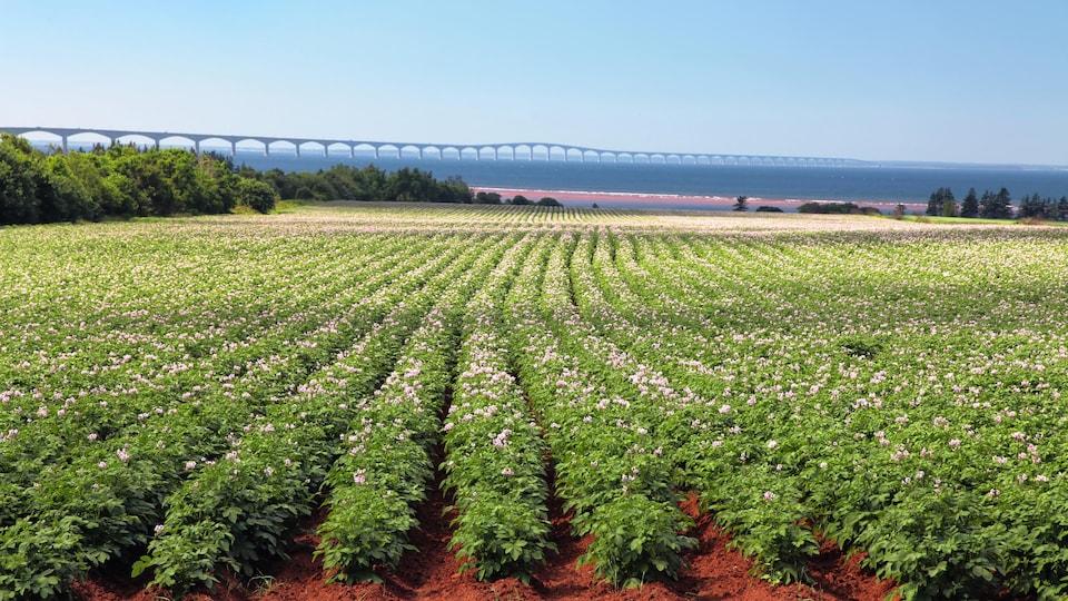 Un champ de pommes de terre à l'Île-du-Prince-Édouard et le pont de la Confédération à l'horizon.