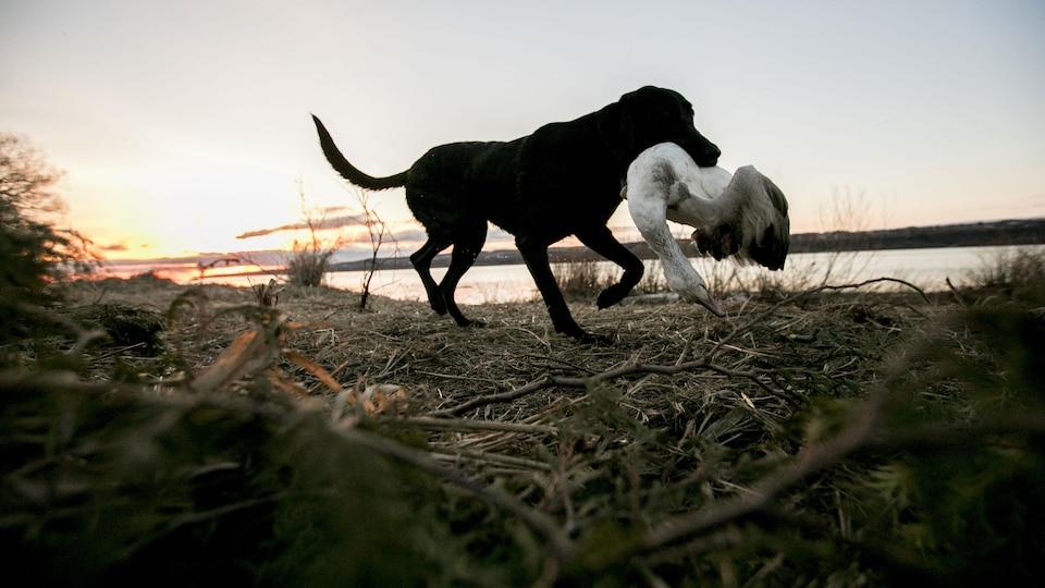 Un chien rapporteur revient avec l'une des oies abattues par le groupe de chasseurs.