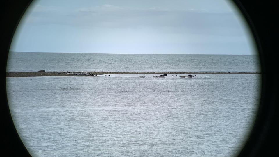 Des phoques communs et des phoques gris se prélassent dans les eaux du fleuve, près d'une pointe de terre.