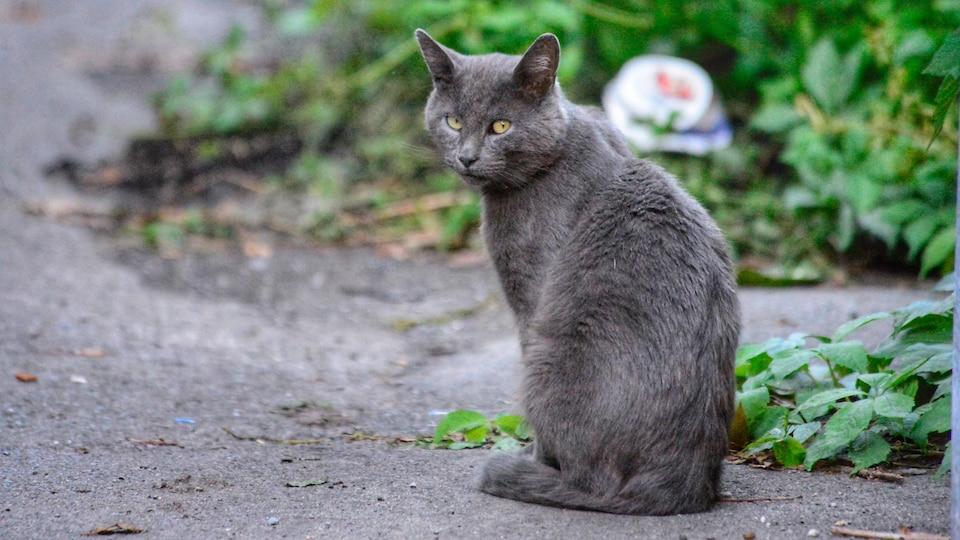 Un chat gris regarde droit dans la caméra.