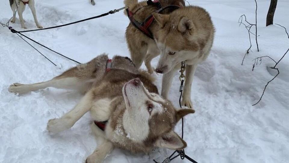 Deux chiens-loups sont attachés à des cordes et se regardent; l'un d'entre eux est couché à terre.