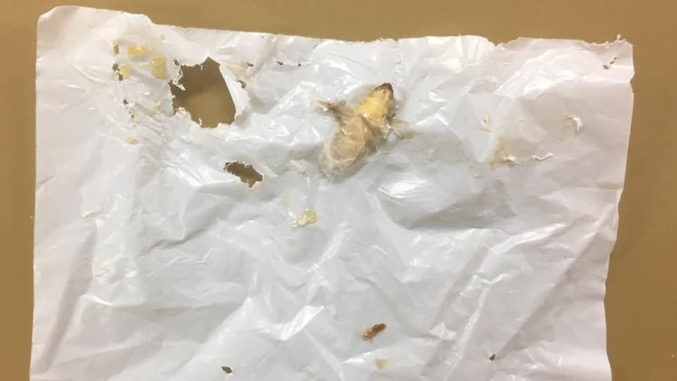 Une chenille mange du plastique.