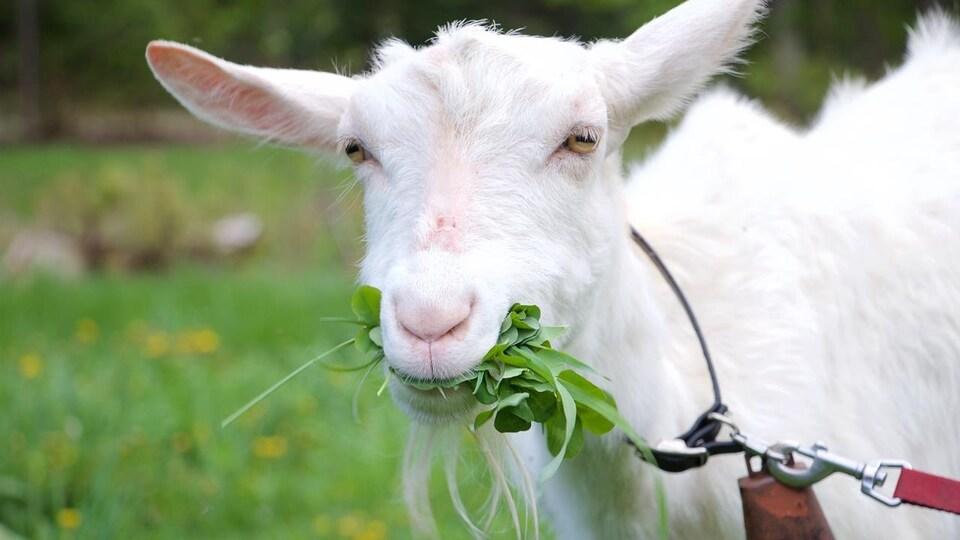 Une chèvre broute de l'herbe.