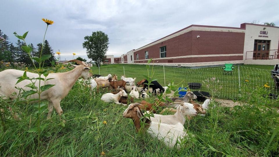 Des chèvres broutent tranquillement des fleurs jaunes.