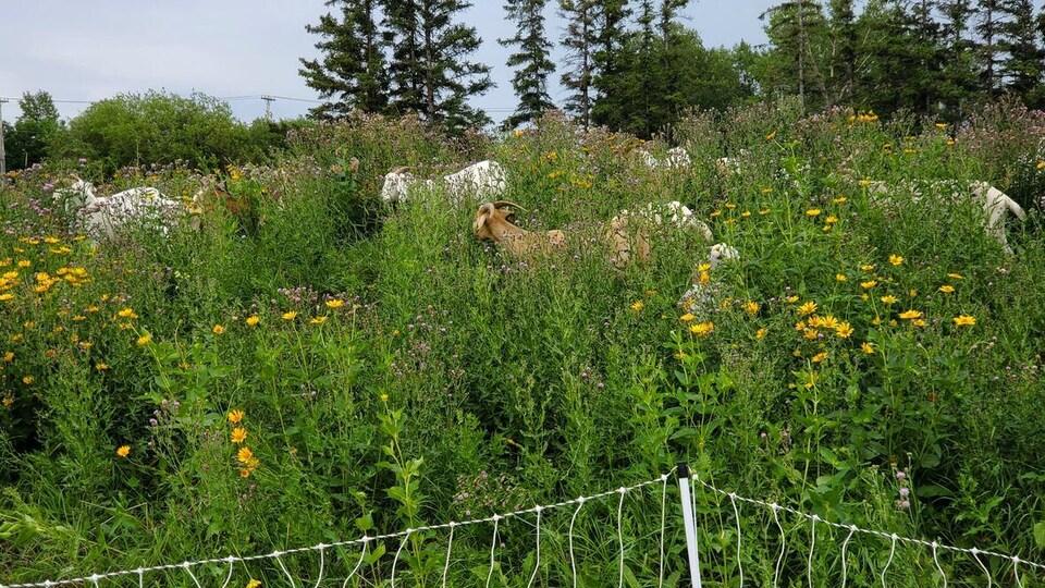 Des chèvres cachées dans des fleurs.