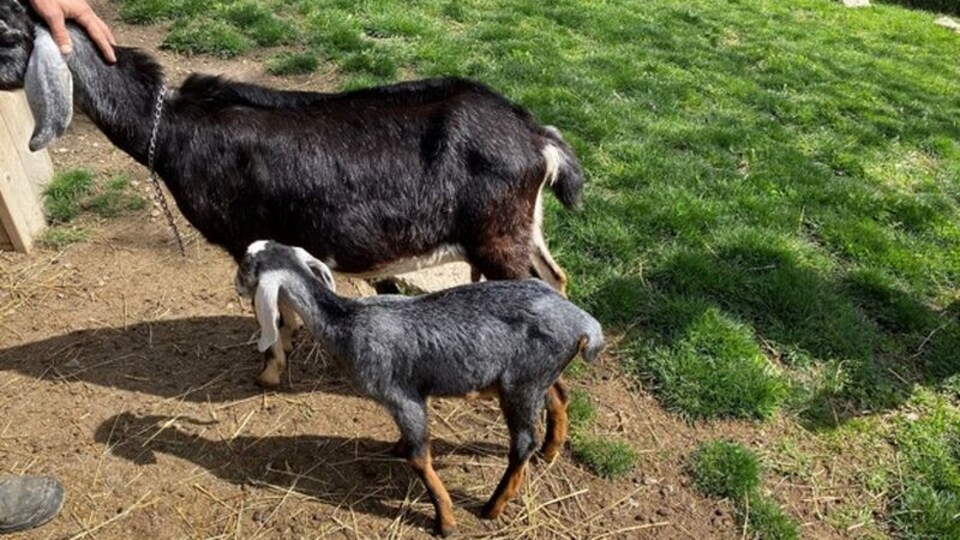 Une chèvre et son petit dans un enclos.