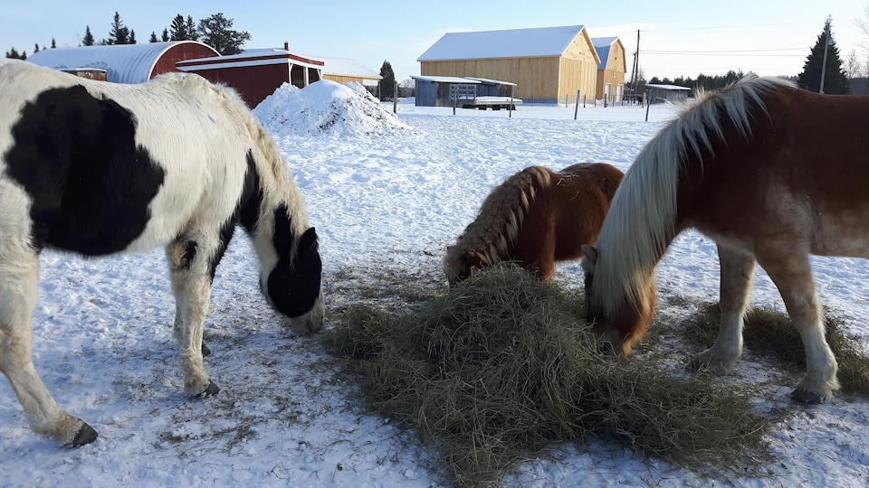 Des chevaux qui mangent du foin en hiver.