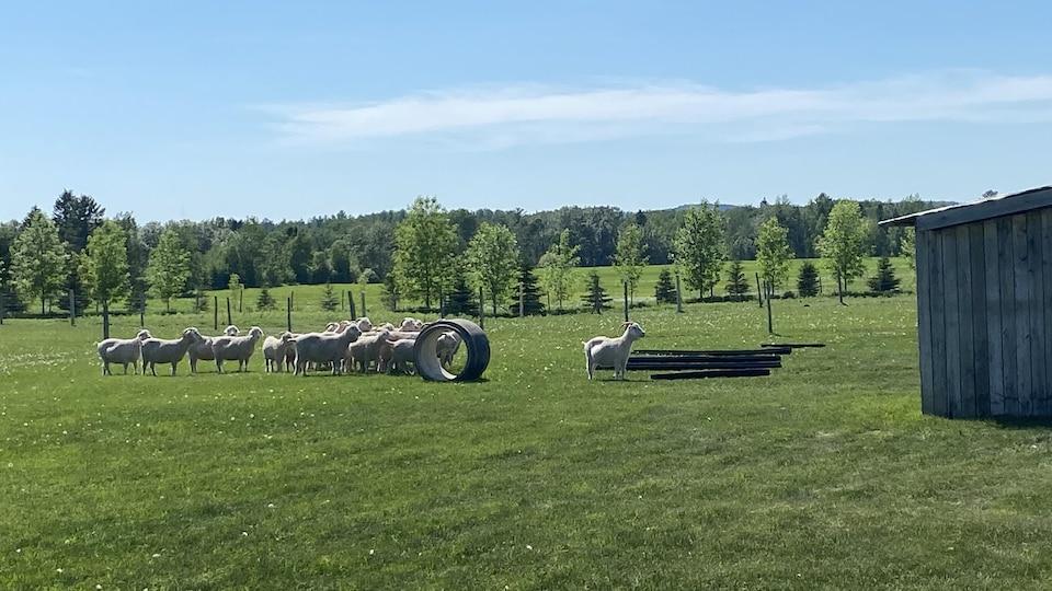 Des chèvres dans un champ.