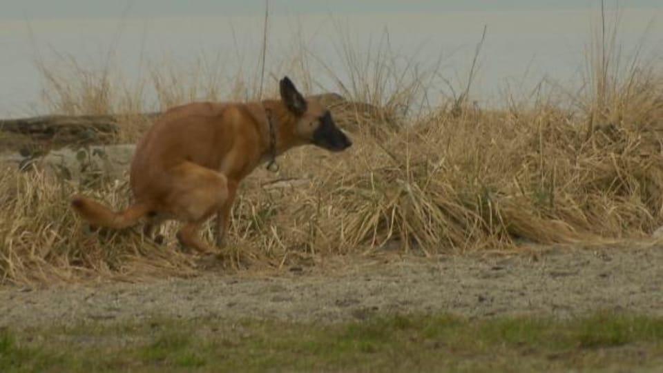Un chien qui fait ses besoins à West Vancouver, en Colombie-Britannique.