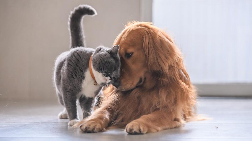Un chat à poil court et un golden retriever.