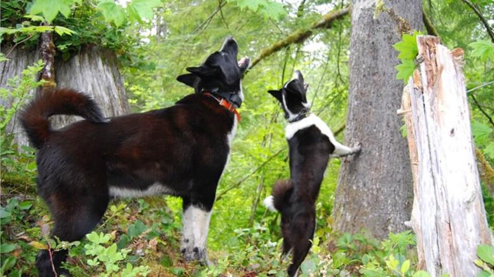 Deux chiens d'ours de Carélie aboient en direction d'un animal caché dans un arbre.