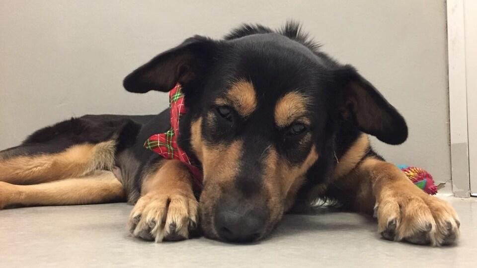 Un chien noir et beige couché au sol, à la Winnipeg Humane Society, dans le temps de Noël.