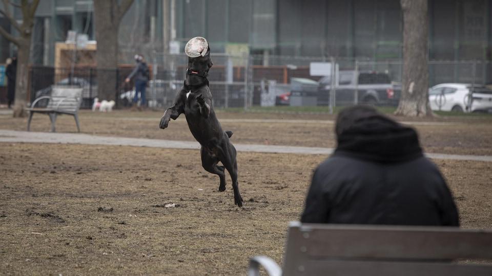 Un chien attrape un frisbee dans un parc de Toronto.