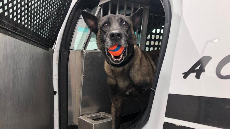 Un chien tient une balle dans sa bouche.
