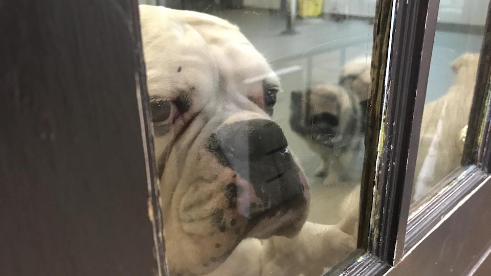 Un chien regarde mélancoliquement à travers une fenêtre dans un chenil