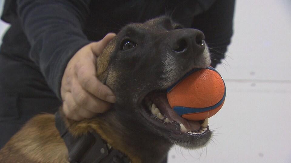 Un chien qui tient une balle dans sa gueule.